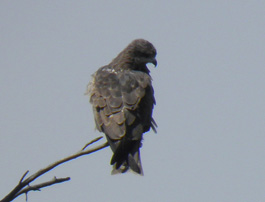 Black Kite - Delhi, India