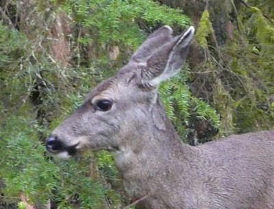 Black-tailed Deer - Chilliwack, B.C.