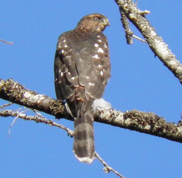Cooper's Hawk - Victoria, B.C.