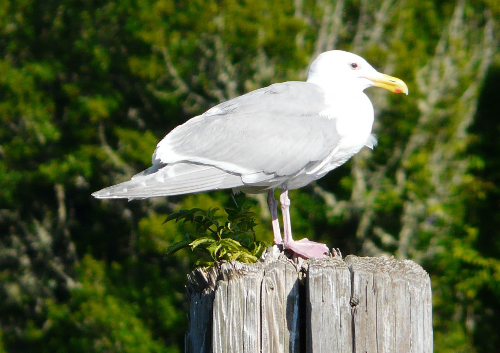 Glaucous-winged Gull - Bamfield, B.C.