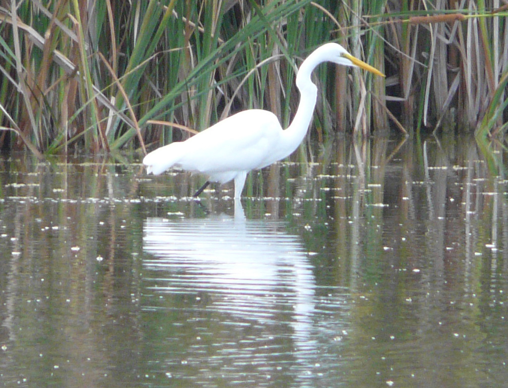 Great Egret - Nassau, Bahamas