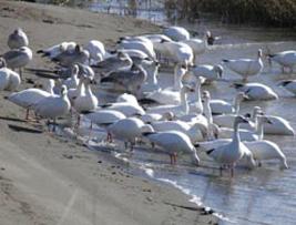 Snow Geese - Iona Island, B.C.