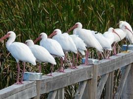White Ibis1-Nassau, Bahamas